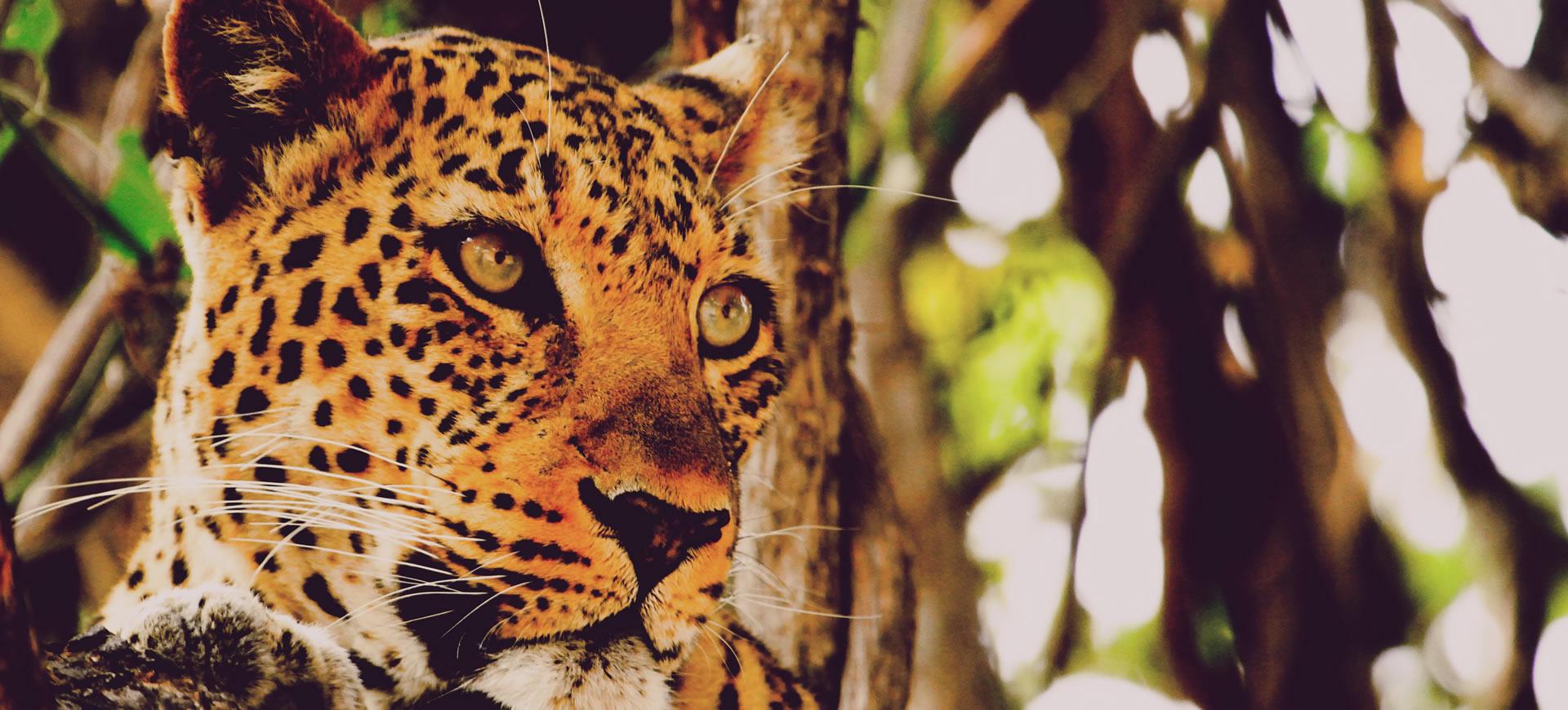 Affordable Safari Camp South Luangwa Leopard