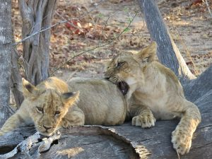 Lion cubs South Luangwa
