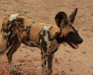 Game Drive Activities Wild Dogs