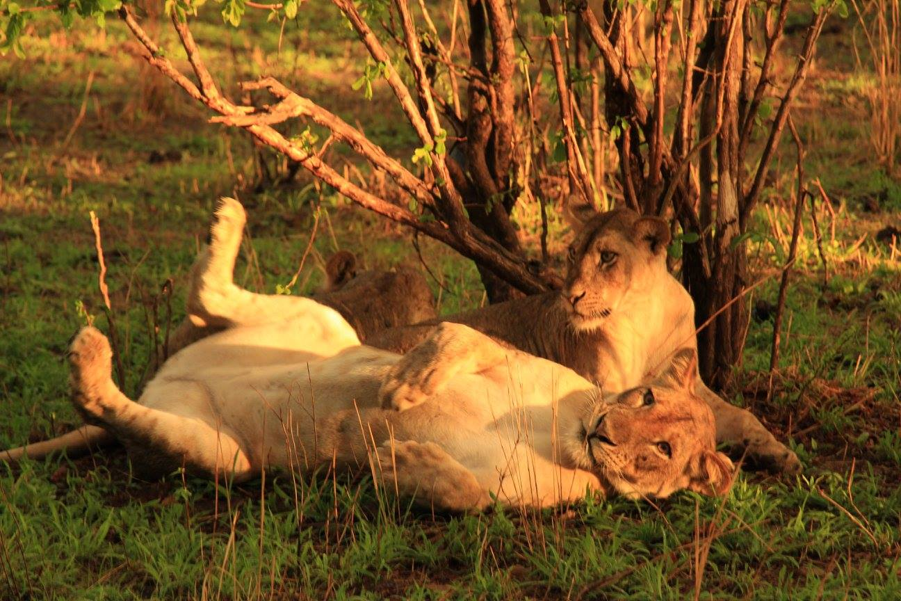 Game Drive Activities Lionesses