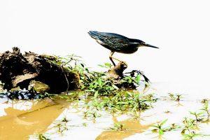 Green backed Heron