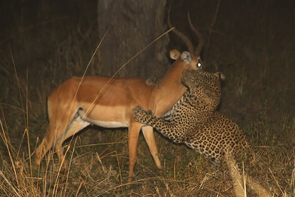 Leopard killing Impala Night Game Drive