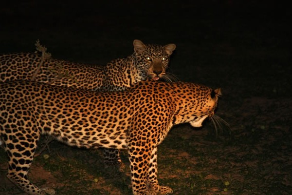 Game Drive Leopards
