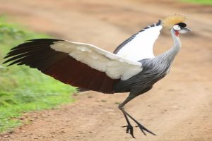 Grey crowned Crane (Southern)
