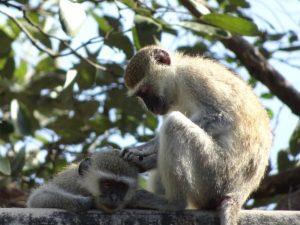 Vervet Monkeys Grooming