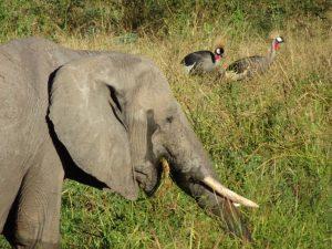 Elephant & Crowned Cranes