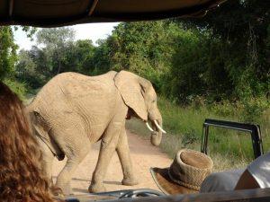 South Luangwa Game Drive Elephant