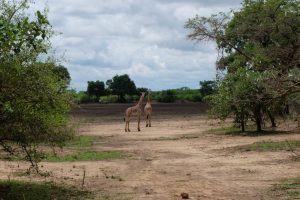Giraffes Croc Valley Camp