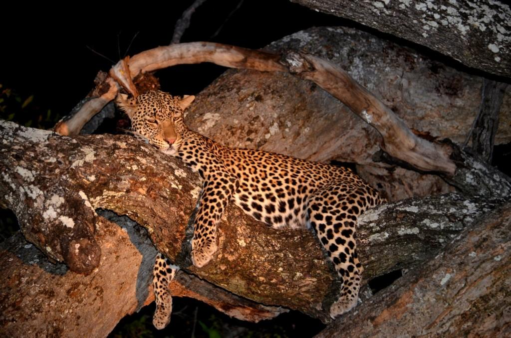 Leopard Night Game Drive