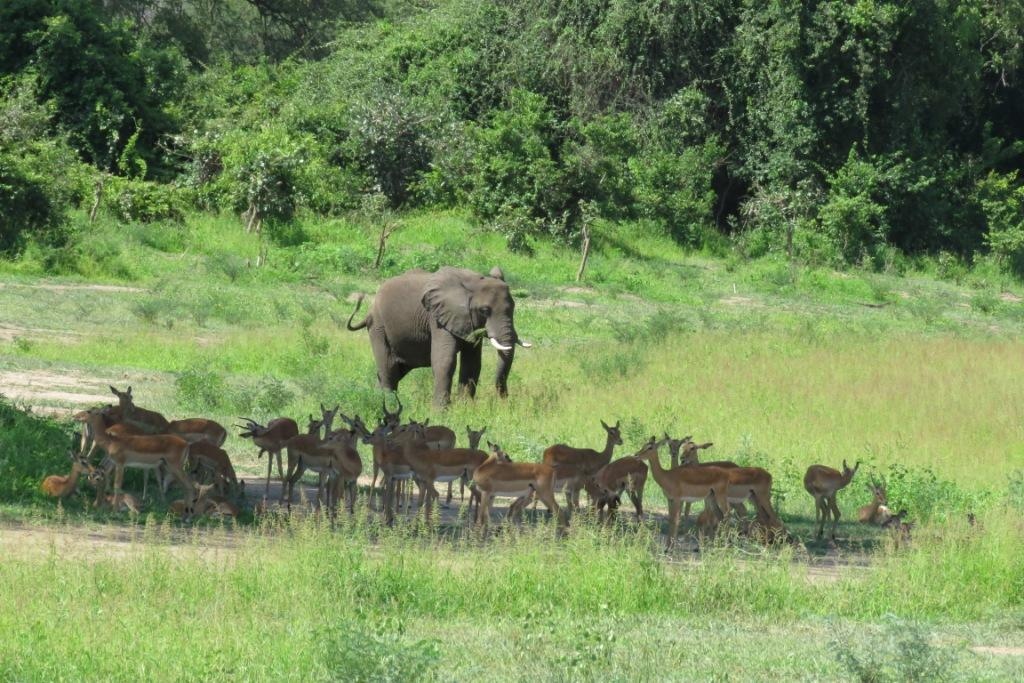 Elephant and Impalas