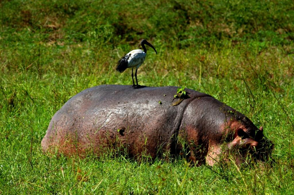 Hippo Green Season