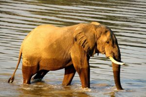 Elephant Luangwa River