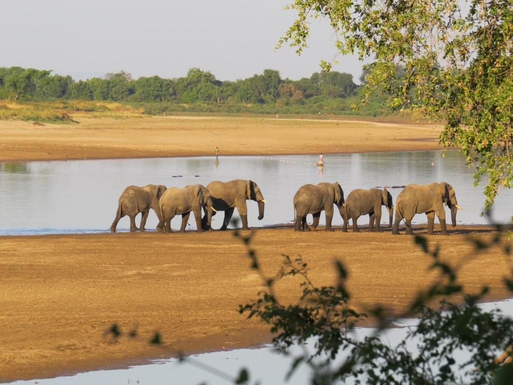 Luangwa River Elephants
