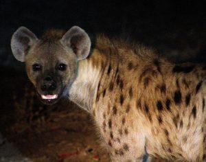 Hyena Night Game Drive