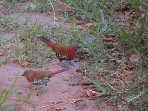 Twinspots red throated_male and female