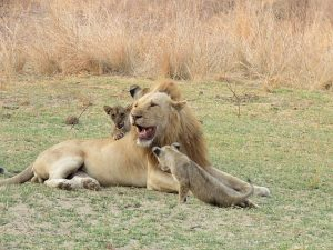 Ginger the lion with cubs