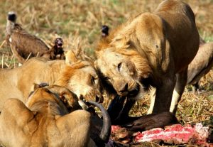 Lion Kill Luangwa Valley