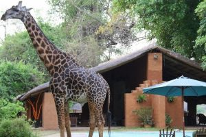 Croc Valley Camp Giraffe