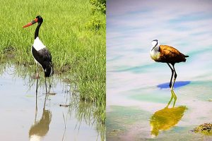 Sattle billed Stork & African Jacana