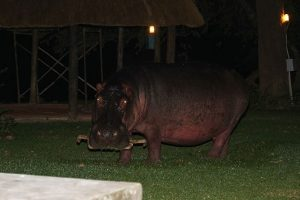 Hippo in Camp