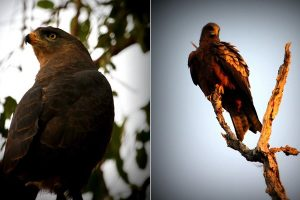Western banded Snake Eagle & Yellow billed kite