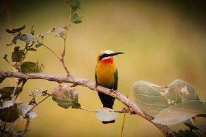 White frontet Bee-eater