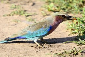 Lilae breasted Roller