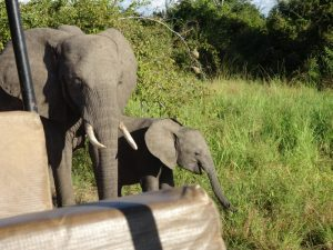 South Luangwa Elephant Game Drive