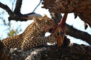 Leoopard Kill