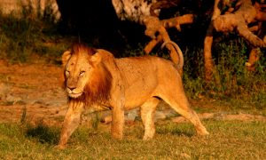 Male Lion Game Drive