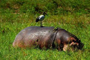 Hippo Green Season