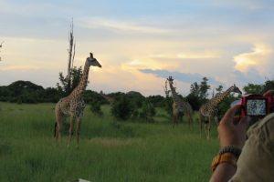 Thornicroft Giraffes