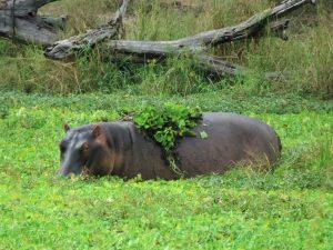 South Luangwa Hippo