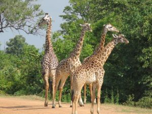 South Luangwa Giraffes