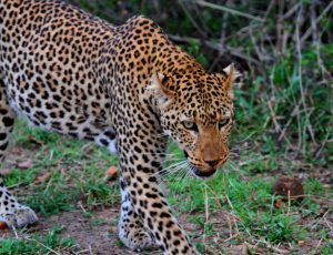 Leopard Game Drive South Luangwa