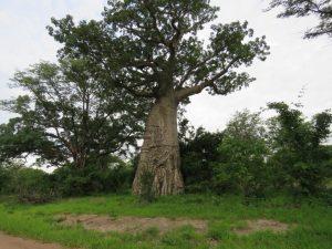 Baobab Tree South Luangwa