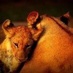 South Luangwa Lions
