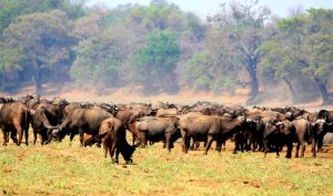 Buffalo herd Luangwa Valley