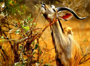 Kudu South Luangwa