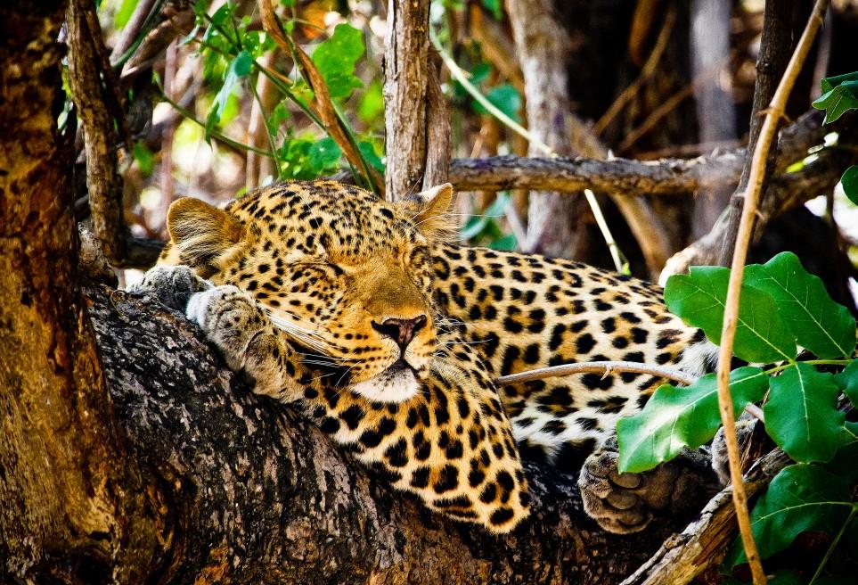 Leopard South Luangwa