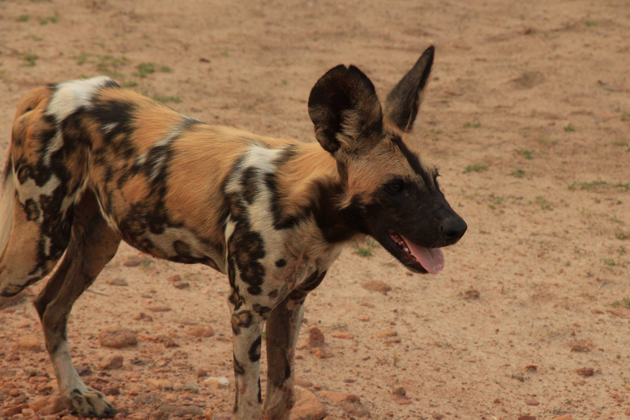 Wild Dogs South Luangwa