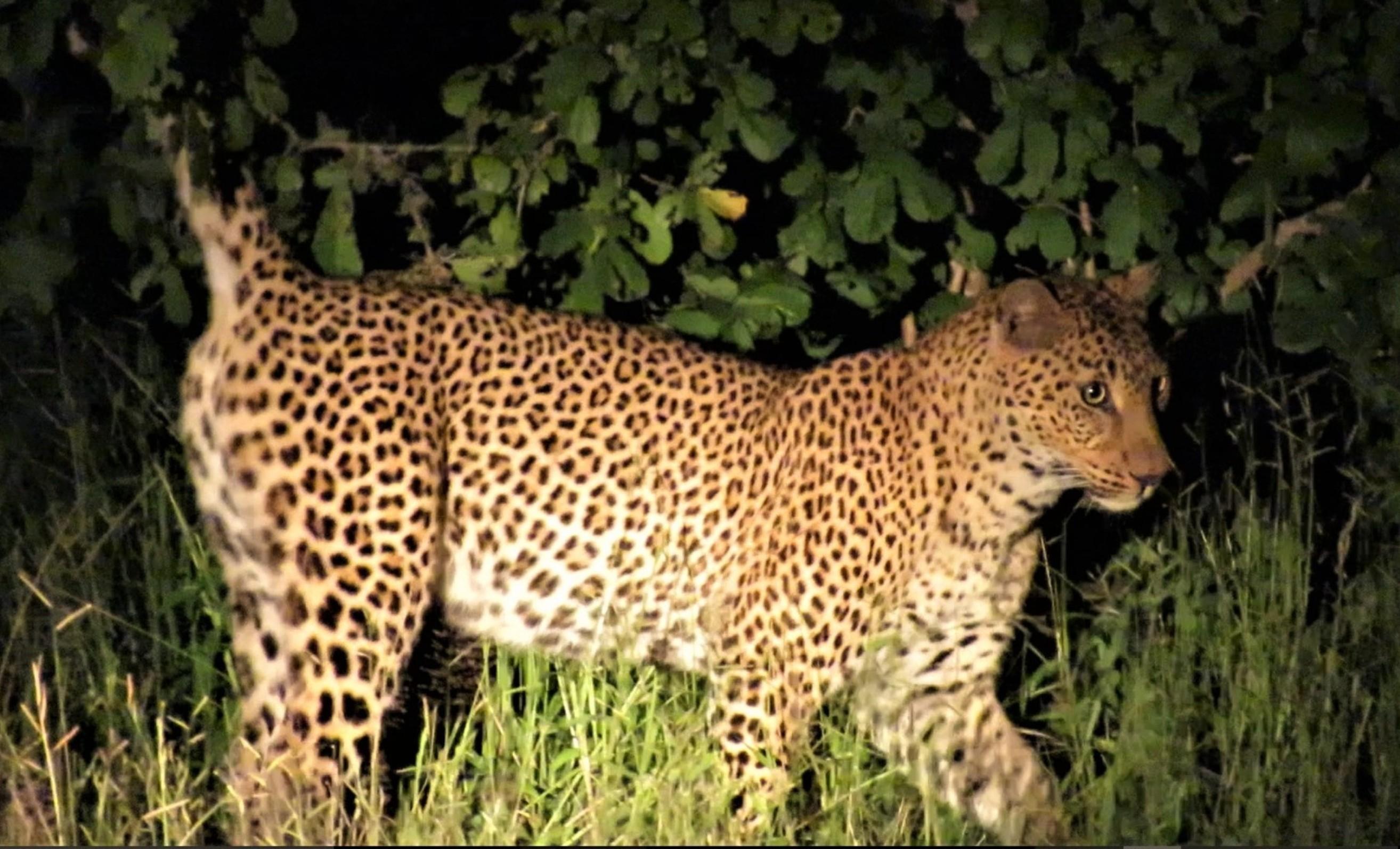 Leopard Sighting Green Season South Luangwa
