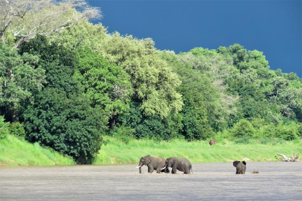 Elephants Luangwa River