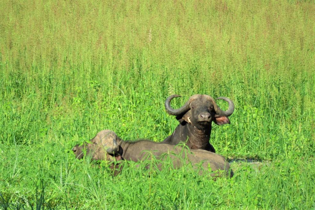 Buffalo Green Season South Luangwa