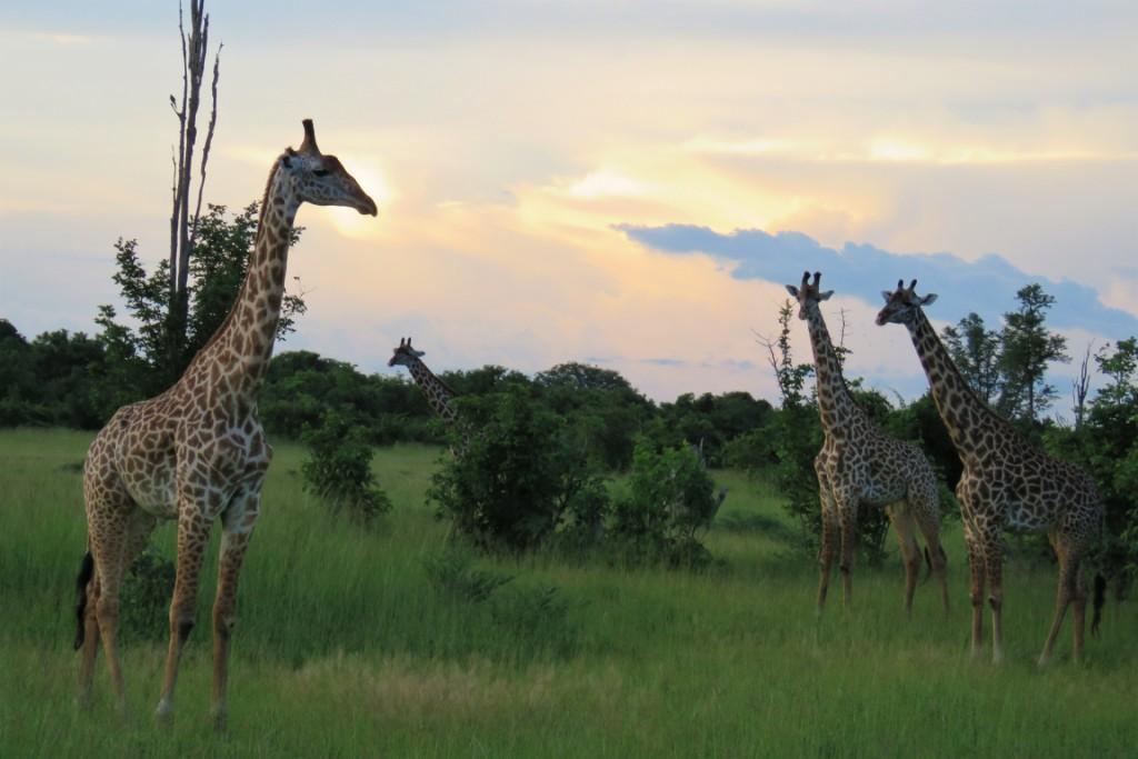 Giraffes South Luangwa