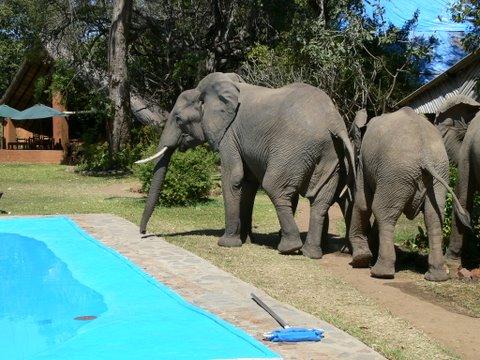 Wild Visitors at Pool