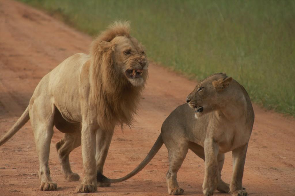 Lions South Luangwa