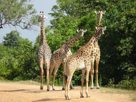 Volunteering South Luangwa Wildlife