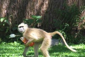 Baboon stealing