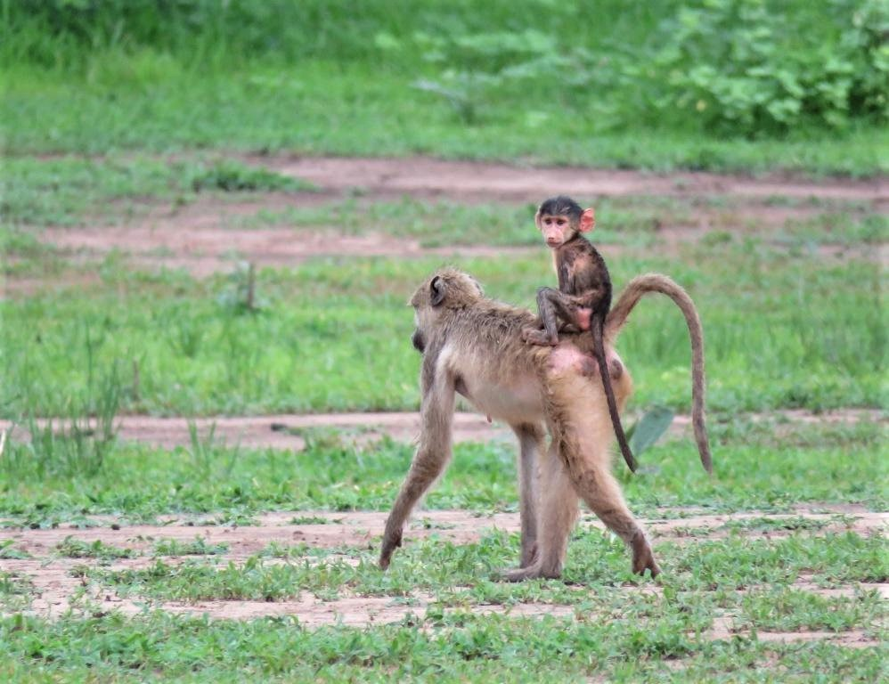 Baby Baboon riding on its mother